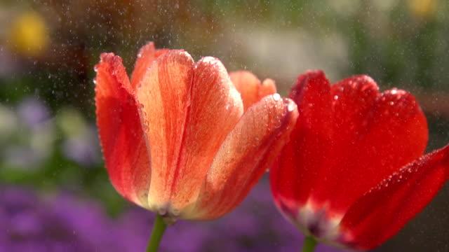 HD SUPER SLOW MO: Rain Falling On Tulips video