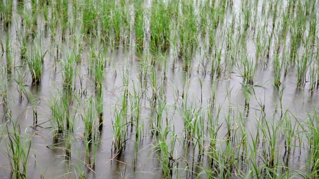 Rain in the field of rice paddy during rainy season video