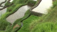 rain on the rice field (HD 1080) video
