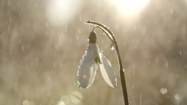 DOF: Rain starts to fall on white bell-shaped snowdrop flower on sunny morning video