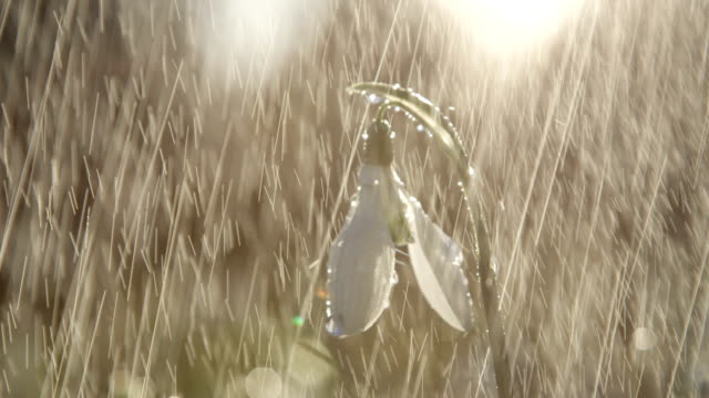 DOF: Rain stops to fall on white bell-shaped snowdrop flower on sunny morning video