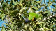 Rainbow Lorikeet Parrot, Honeyeater Bird Feeding on Melaleuca Flowers video