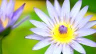 Raindrop on lotus video