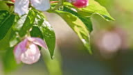 SLO MO Raindrops dripping off the apple blossoms video