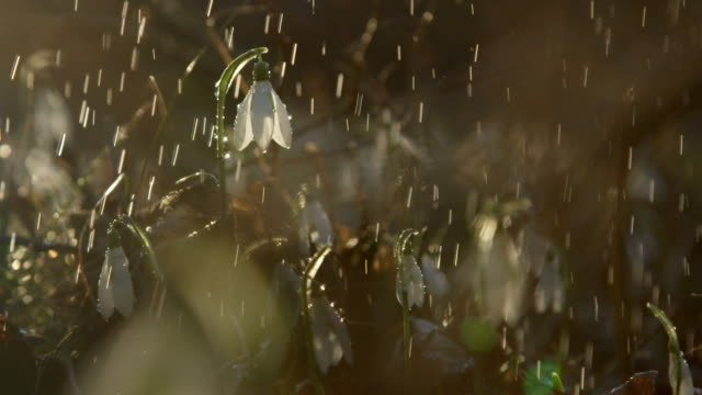 DOF: Raindrops falling on beautiful early spring flowers on sunny day in forest video