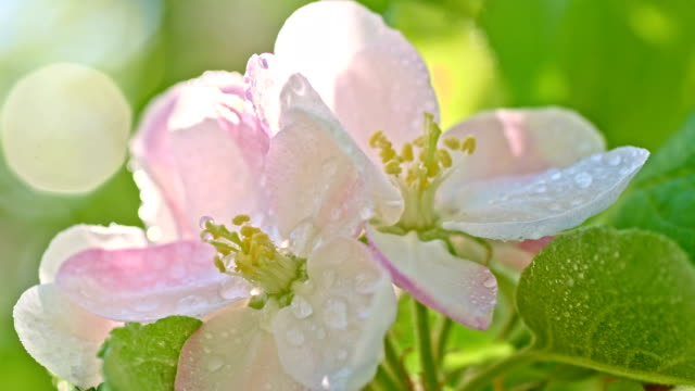 SLO MO Raindrops falling on the apple blossom video