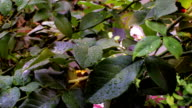 Raindrops on a rose leafs video