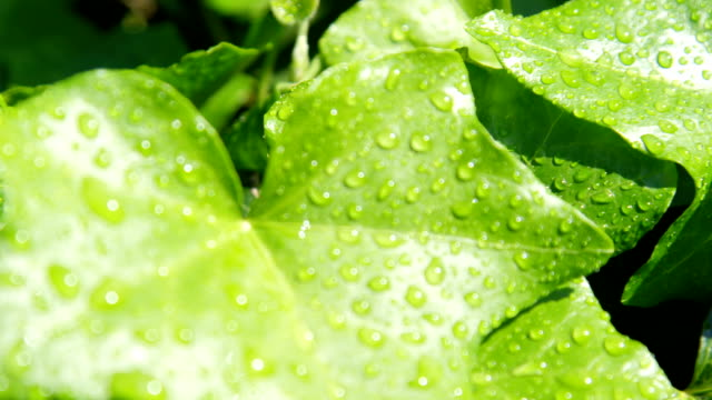 SLOW MOTION CLOSE UP: Raindrops on lush green ivy leaves after rain on sunny day video