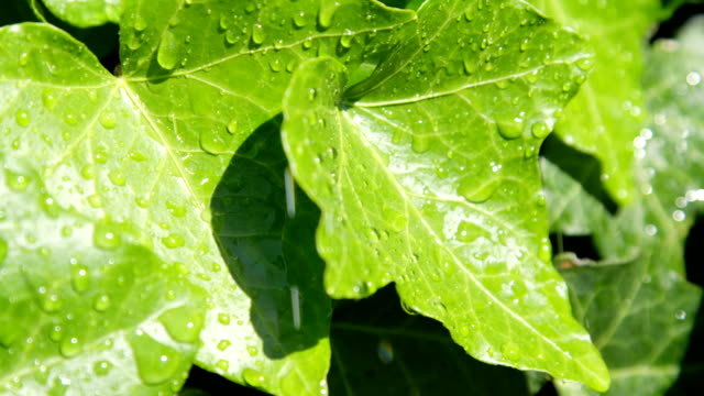 SLOW MOTION CLOSE UP DOF: Raindrops raining on lush green ivy leaves video