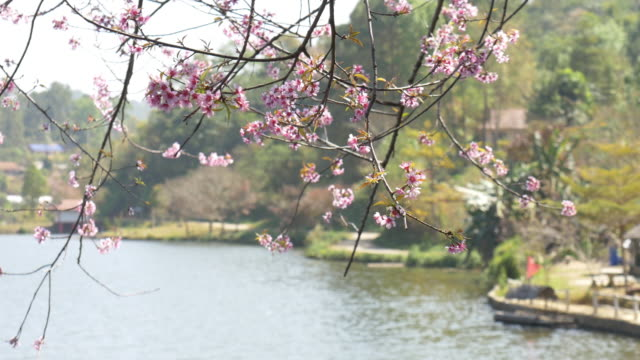 Rak thai village with pink cherry blossom video