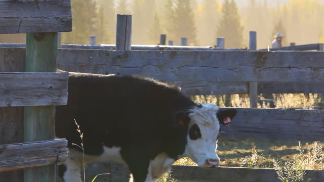 Ranchers sorting cattle in holding pens video
