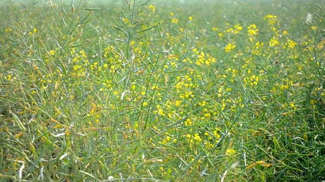 Rape field close up video