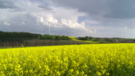 Rape Field in Front of a Wind Turbine video