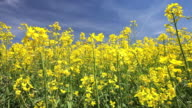 Rape Field in Spring (Loopable) video