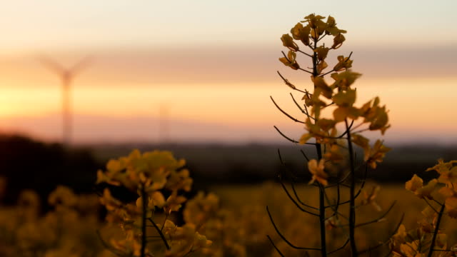 Rape field - sunset with wind turbine video