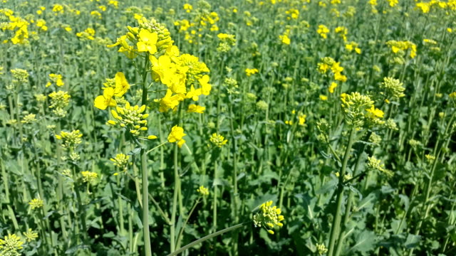 Rapeseed Field In Full Blossom Used For Biofuel video