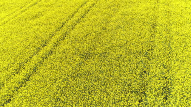 Rapeseed Field In Spring Flyover video
