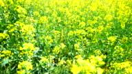 Rapeseed fields in springtime 4K video