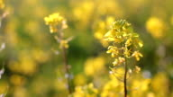 Rapeseed (Brassica napus) video
