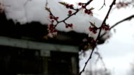 Rare phenomenon. Snow in spring. Branches of the Blossoming apple tree on which the snow lies. Snow on flowers.Climate Change video