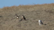 Rare wild white mule deer and herd, Colorado video