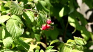 Raspberry in nature zoom out video