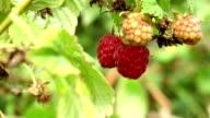 Raspberry on bush video