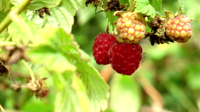 Raspberry on bush video