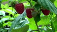 Raspberry Plant video