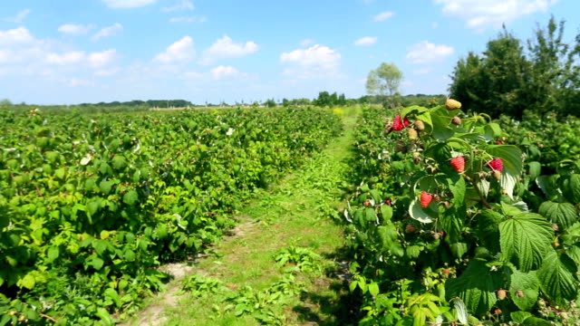 Raspberry plantation video