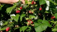 Raspberry. video