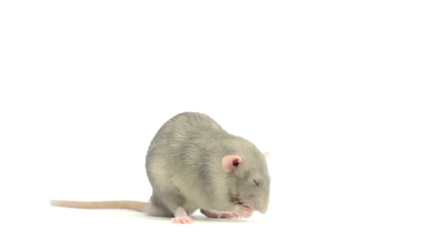 Rat cleaning itself video
