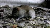Rat eating in its natural habitat video