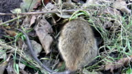 Rat hiding under dried leaves video