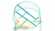 Rat on Exercise Wheel (HD) video