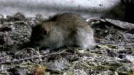 Rat on the farm ground video