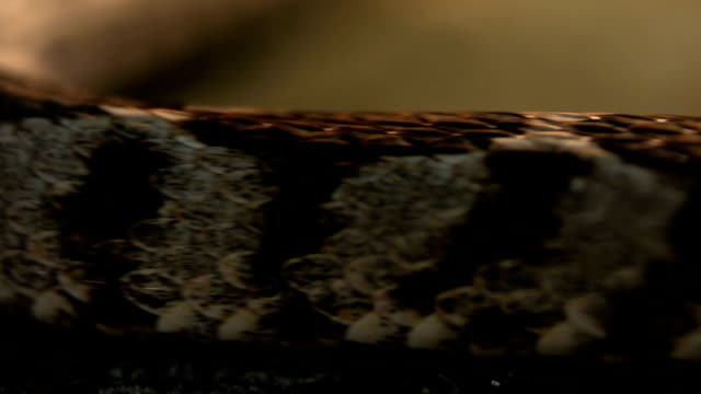 Rattle snake scales as it moves past camera video