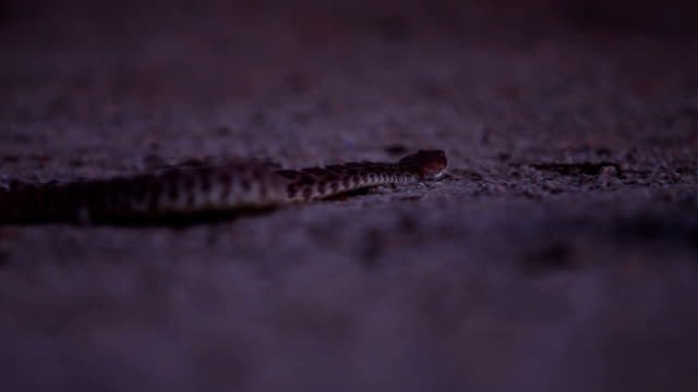 rattlesnake at night video