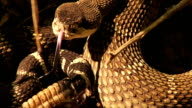 Rattlesnake Close-up video