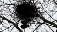 Raven Birds In A Nest Above An Old Forgotten Graveyard video