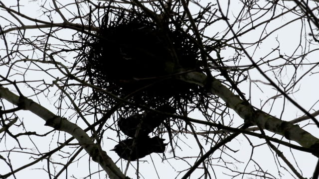 Raven Birds In A Nest Above An Old Forgotten Graveyard video