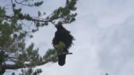 Raven in Pine Tree video