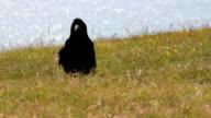 Raven video