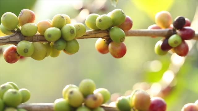 Raw Coffee Bean video