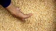Raw dry corn spills video