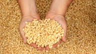 Raw dry corn spills video