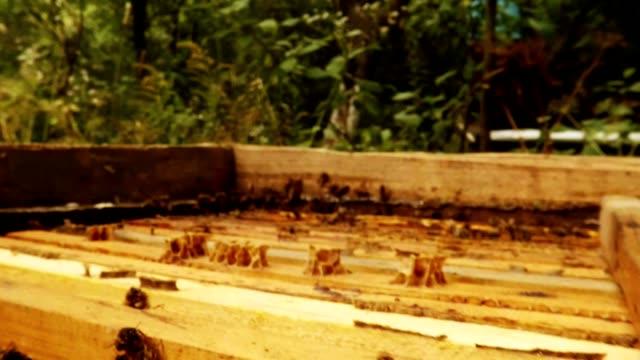 Raws of Honeycombs Plate in Hive Bees Apiarian Walk Behind in Trees video