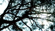 Rays of Sun Shines Through Branches of a Pine video