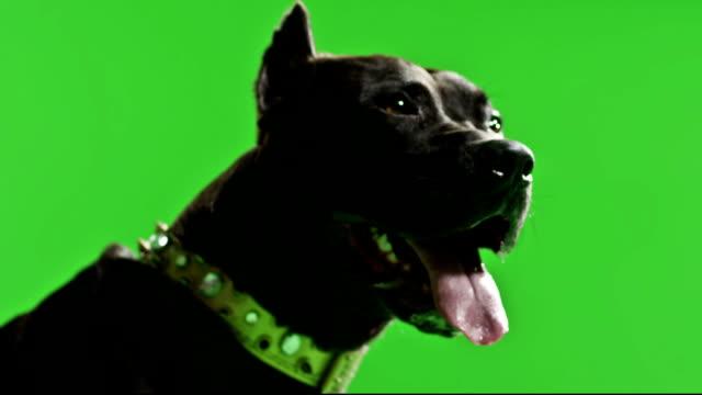Real Black pitbull dog barking green screen chroma key Slow Motion video