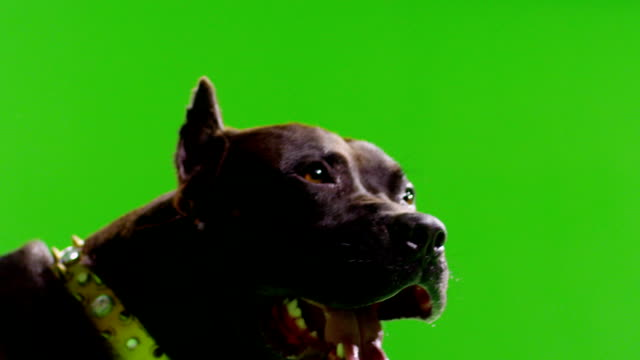 Real black pitbull dog barking. Green screen chroma key. Slow Motion. video